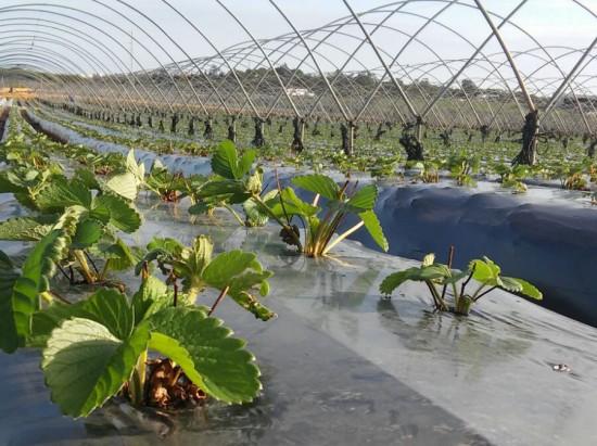 Pistoletazo de salida a nuestra plantación de fresa - Masiá Ciscar