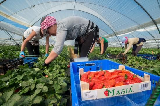 Masiá Ciscar prevé una producción de fresa superior a la anterior campaña - Masiá Ciscar