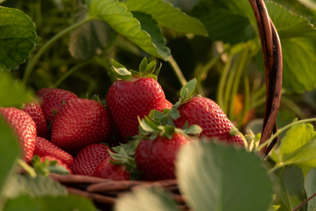 Situación actual de la producción de frutos rojos en Andalucía - Masiá Ciscar
