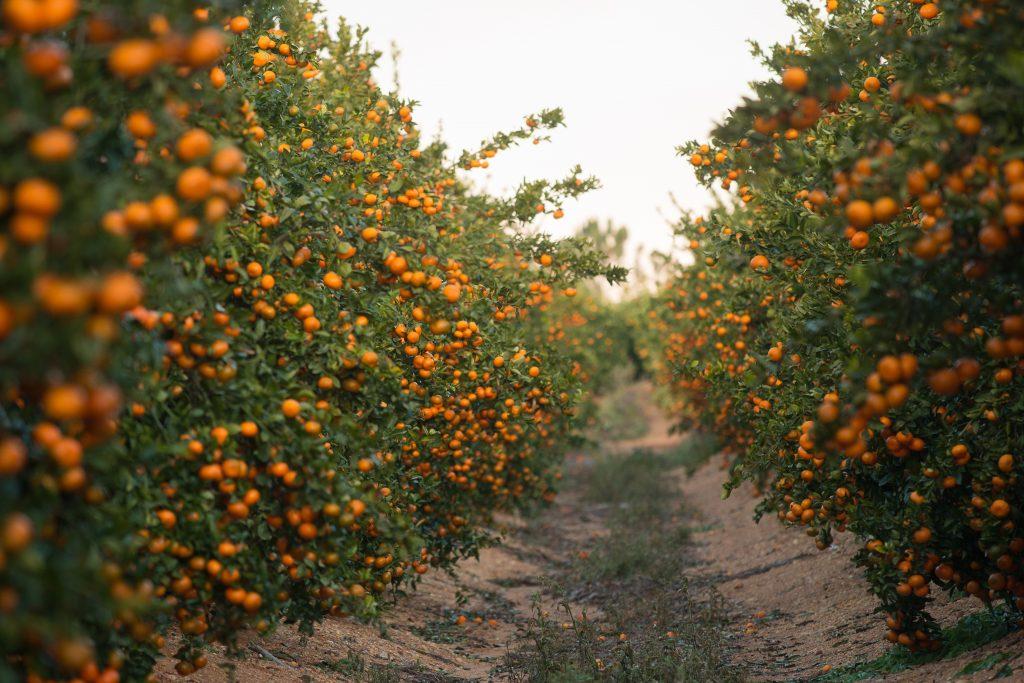 ¿Cómo avanza la temporada de clementinas en Huelva? - Masiá Ciscar